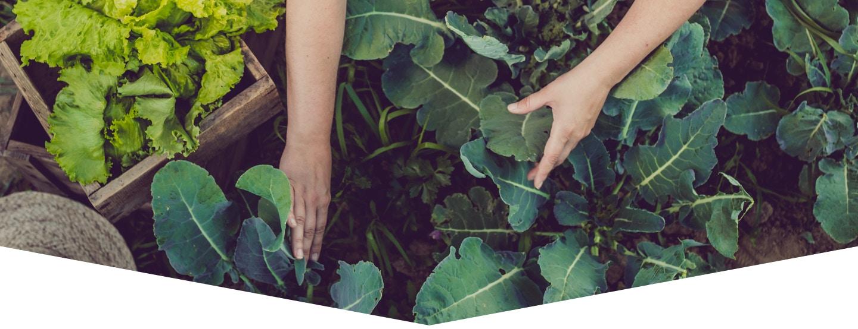 vegetable garden with 2 hands working