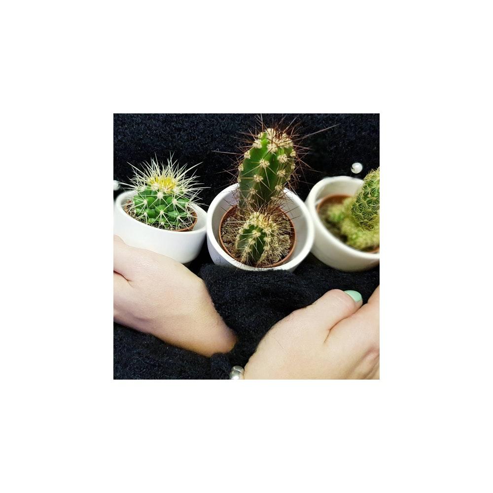 Pretty Cactus Plants  Small Surprise Cacti Plant - In 5.5cm Pot