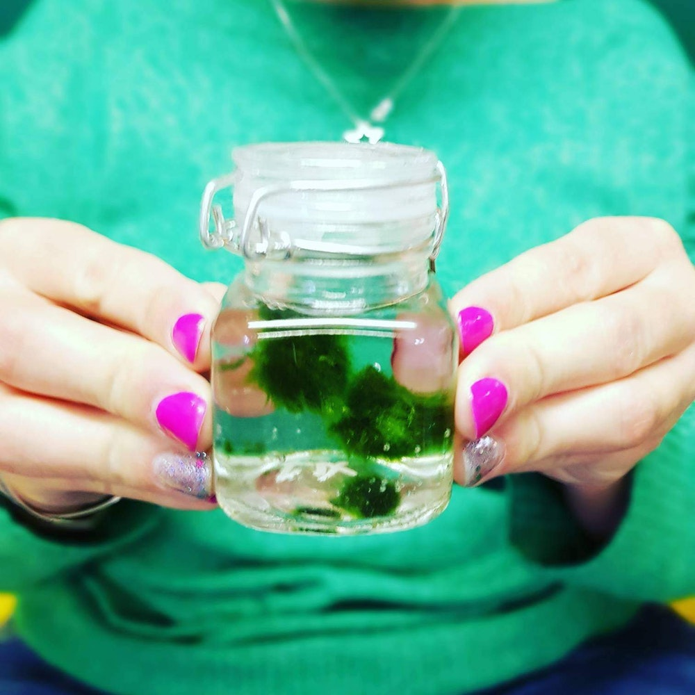 Pretty Cactus Plants  Marimo Moss Ball Jar - Aquatic Plant From Japan In Jar - Makes A Unique Gift
