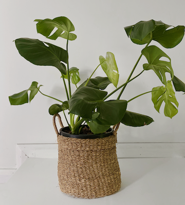 monstera-large-png
