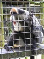 It is all yawn for this De Brazza Monkey at Mogo Zoo