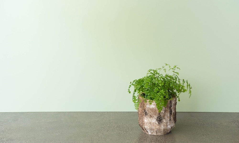 Maidenhair Fern Care