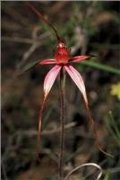 Caladenia possibly Formaosa - spider orchid