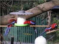 Western Rosellas put on a show at Jolliwinds feeders