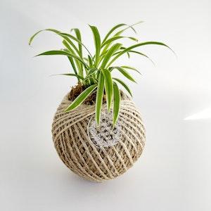 Spider Plant Kokedama SMALL