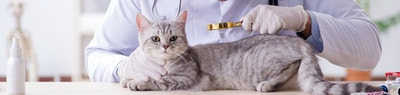 Why it's Important to Maintain Flea Treatment for Your Cat