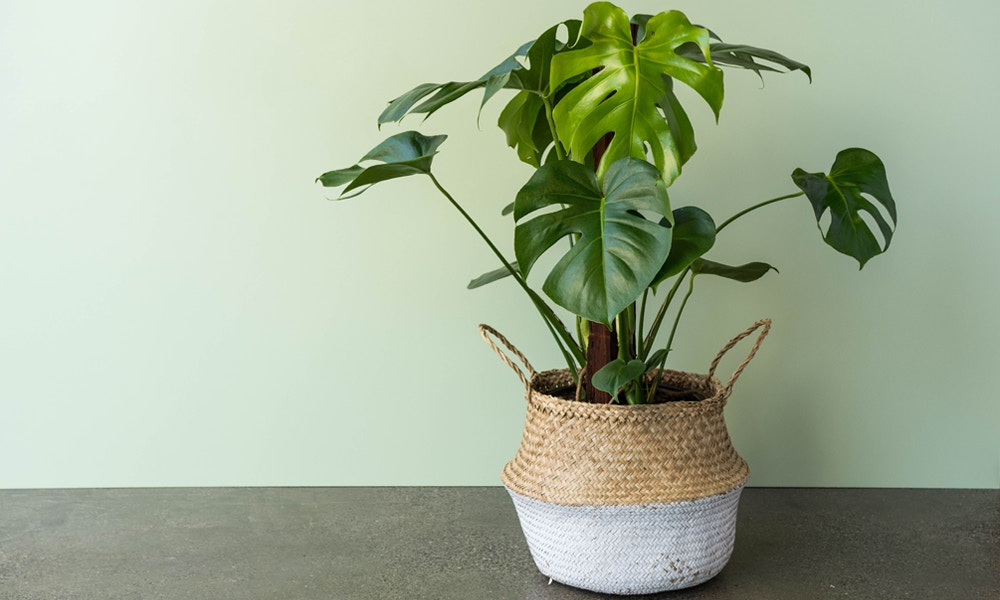 Monstera Deliciosa Growing Tips