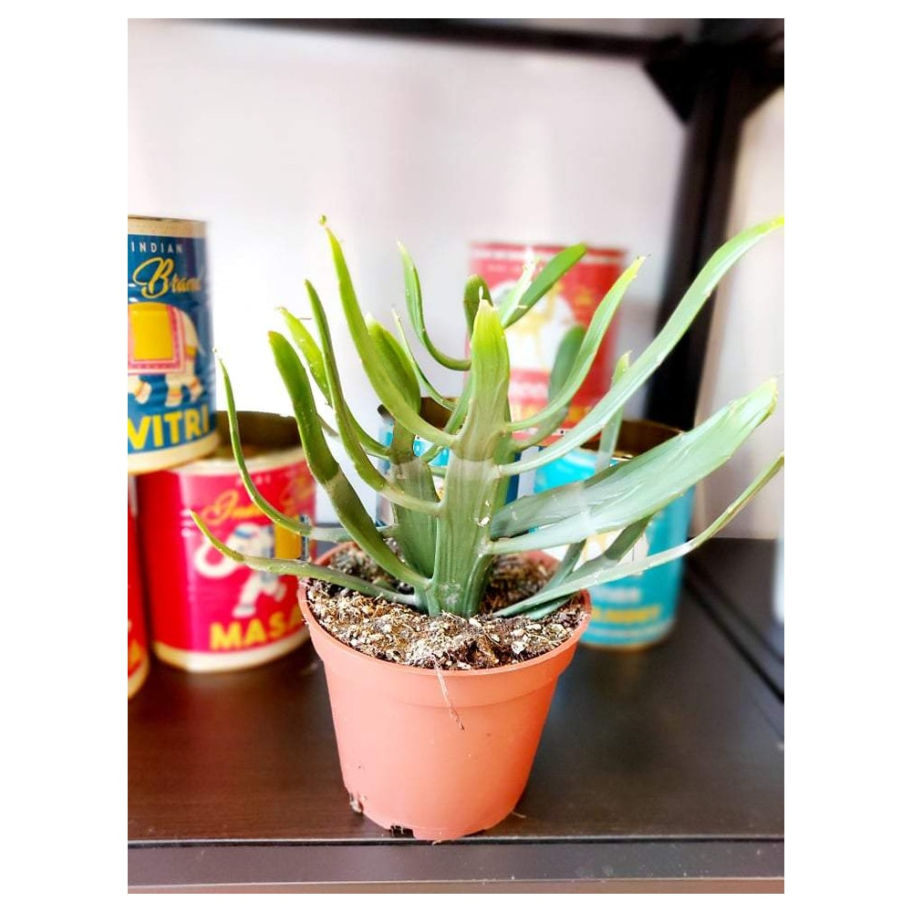 Pretty Cactus Plants  Euphorbia Xylophylloides - Rare Succulent Plant In 13cm Pot