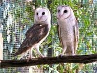 Peel Zoo  Barn owls
