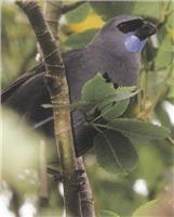 Kokako Bird relates to New Zealand pre-history