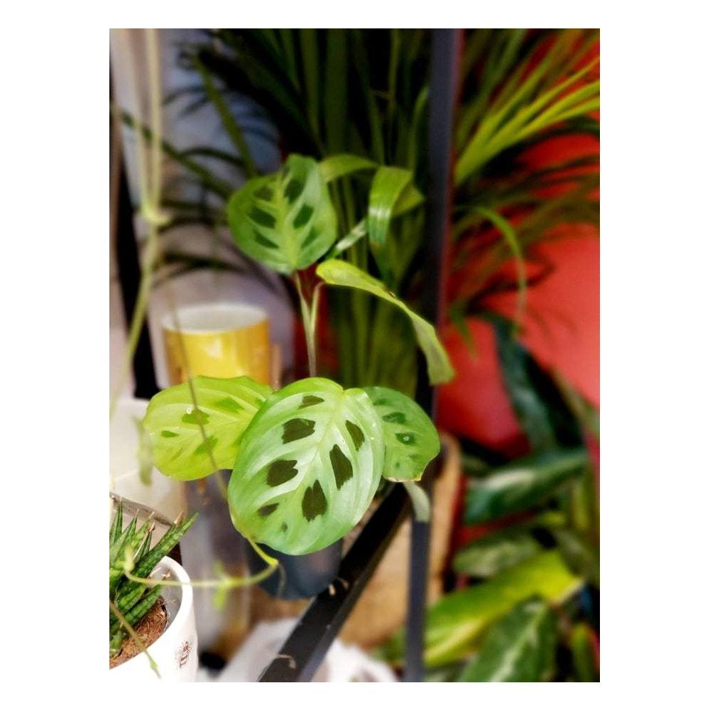 Pretty Cactus Plants  Prayer Plant / Maranta Kerchoveana - Live House Plant In 12cm Pot. Pet Safe