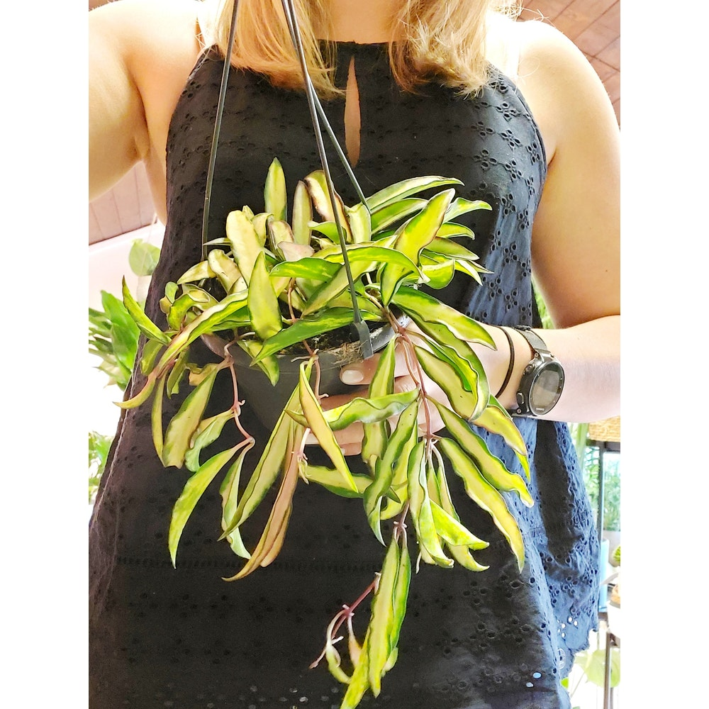 Pretty Cactus Plants  Hanging Hoya Wayetti Tricolour - Easy Care Hanging Succulent Houseplant In 14cm Pot. Easy Care. Pet Safe.