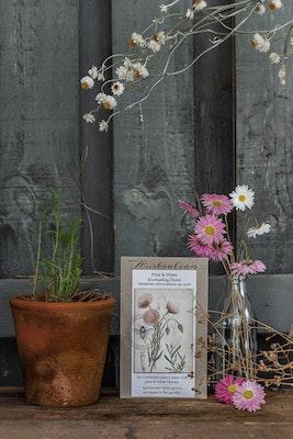 Backyard Garden Enthusiast Pink & White Everlasting Daisy, Rhodanthe chlorocephala ssp. Rosea