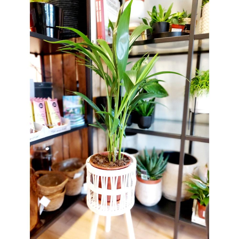 Pretty Cactus Plants  Chickidee Luna Planter - White Wood - H44cm X D21cm