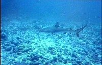 Grey reef shark on the prowl courtesy Great Barrier Reef Marine Park Authority