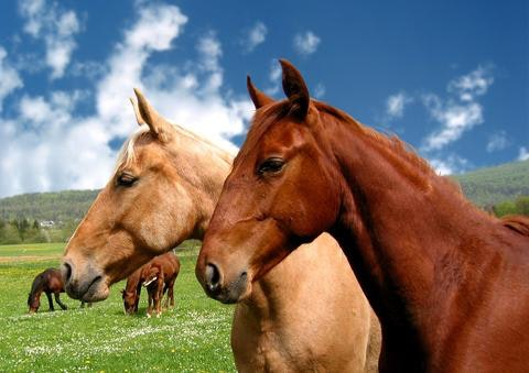 how_to_prevent_gastric_ulcers_in_horses_2_480x480-jpg