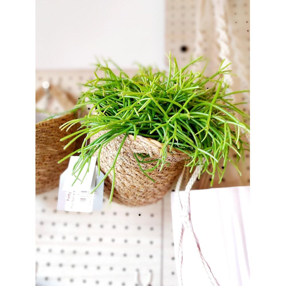 Pretty Cactus Plants  Rhipsalis Cassutha - Easy Care Jungle Cactus In 10.5cm Pot.