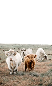 The Fold - Highland Cow Series
