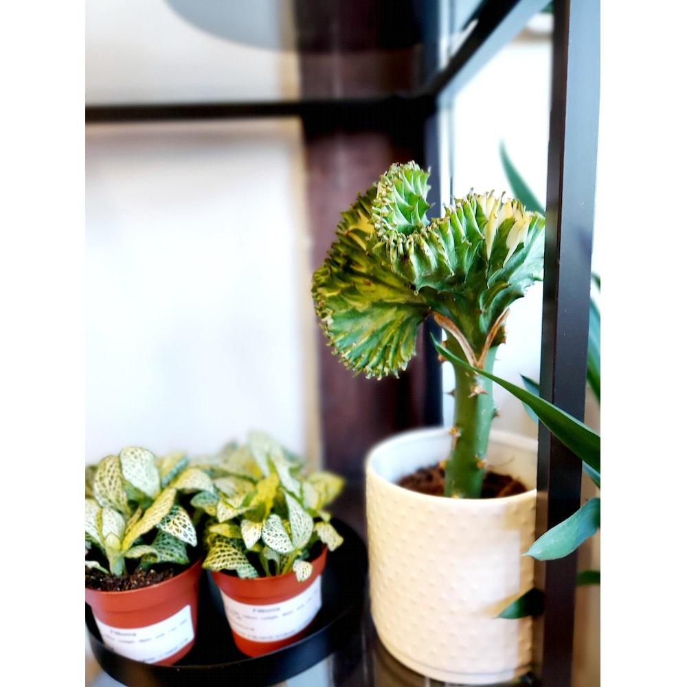 Pretty Cactus Plants  Coral Cactus / Euphorbia Lactea Cristata - Grafted Succulent Houseplant In 11cm Pot - Peat Free