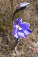 Thelymitra ixioides- Spotted Sun-orchid