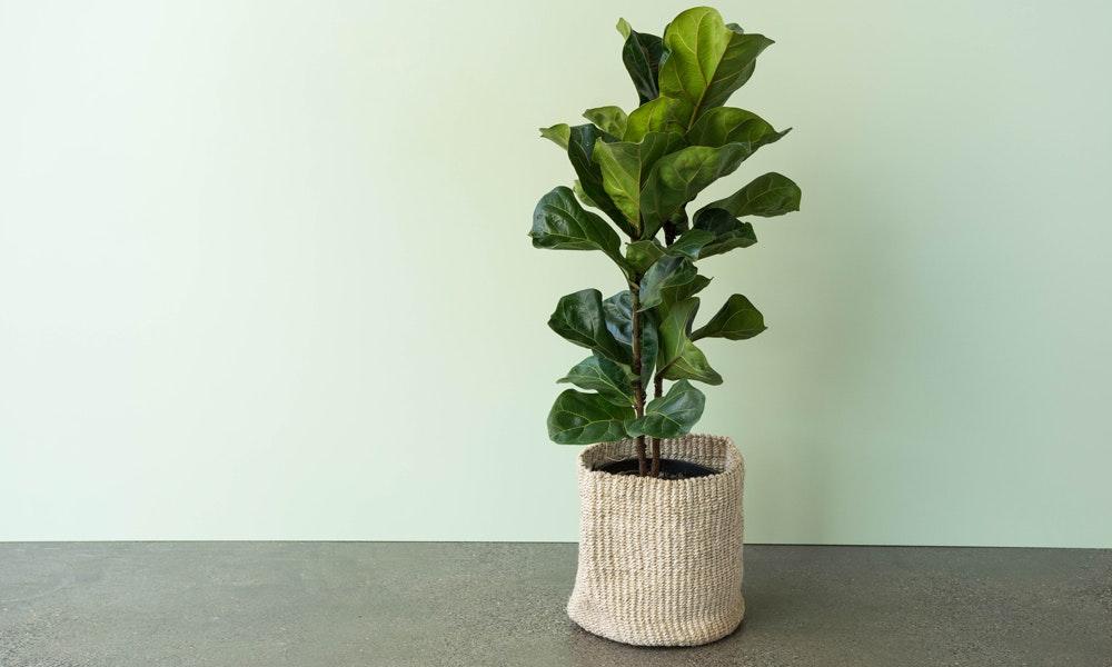 Ficus Lyrata Fiddle Leaf Fig Care House Of Home