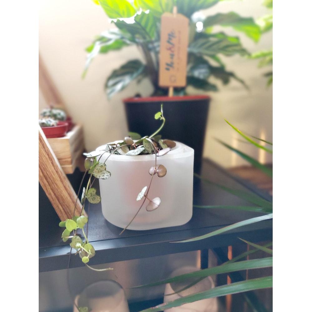 Pretty Cactus Plants  Boskke Till Planter - Self Watering Plant Pot