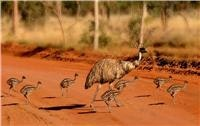 Cobar NSW wildlife Emu & chicks