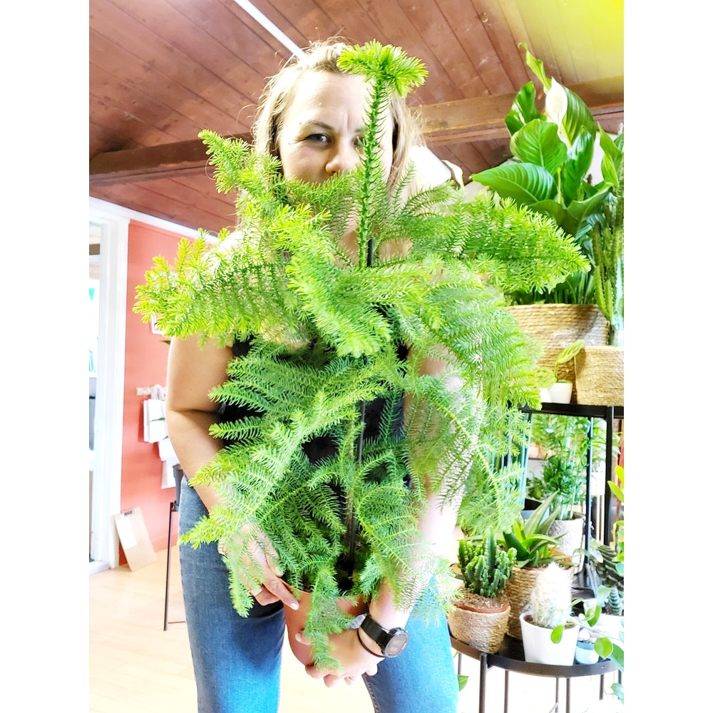 Pretty Cactus Plants  Norfolk Pine / Araucaria Heterophylla - Easy Care Tropical Houseplant In 21cm Pot.