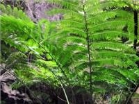 One of the worlds largest - the King Fern Wards Canyon Central Queensland