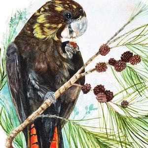 Flossie - Black Cockatoo Fine Art Print