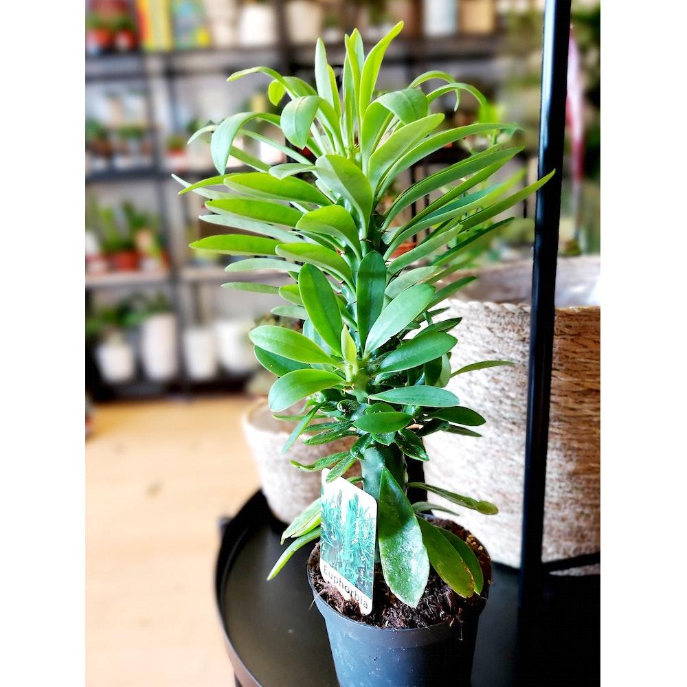 Pretty Cactus Plants  China Cactus / Euphorbia Neriifolia - Succulent Plant In 12cm Pot