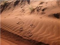 Big Foot tracks  on Canning Stock Route Stock sand dune