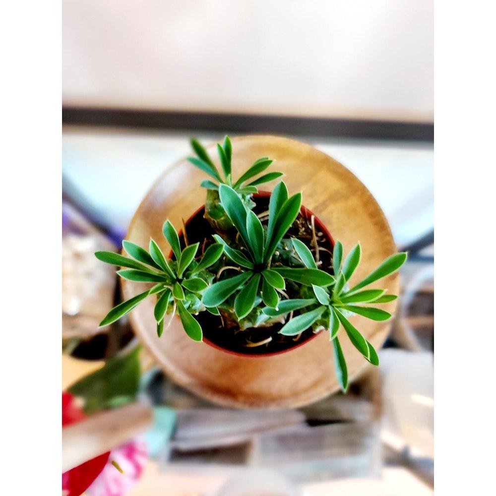 Pretty Cactus Plants  Pine Cone Plant / Euphorbia Bupleurifolia X Susannae- Live, Easy Care Rare Succulent Houseplant In 5.5cm Pot