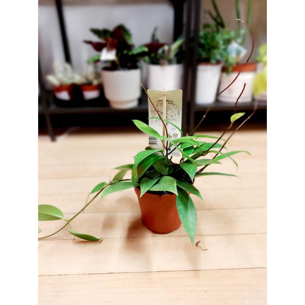 Pretty Cactus Plants  Hoya Pubicalyx - Easy Care Hanging Succulent Houseplant In 12cm Pot. Easy Care. Pet Safe.