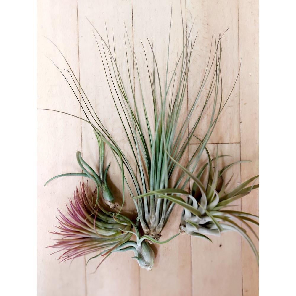 Pretty Cactus Plants  3 Mixed Tillandsia Air Plants - Easy Care Houseplants - Pet Safe.