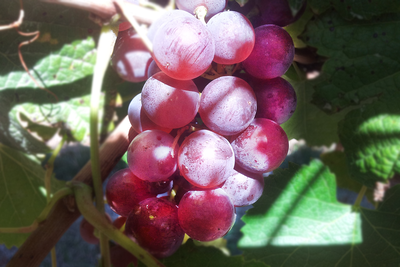top-note-rose-grape-png