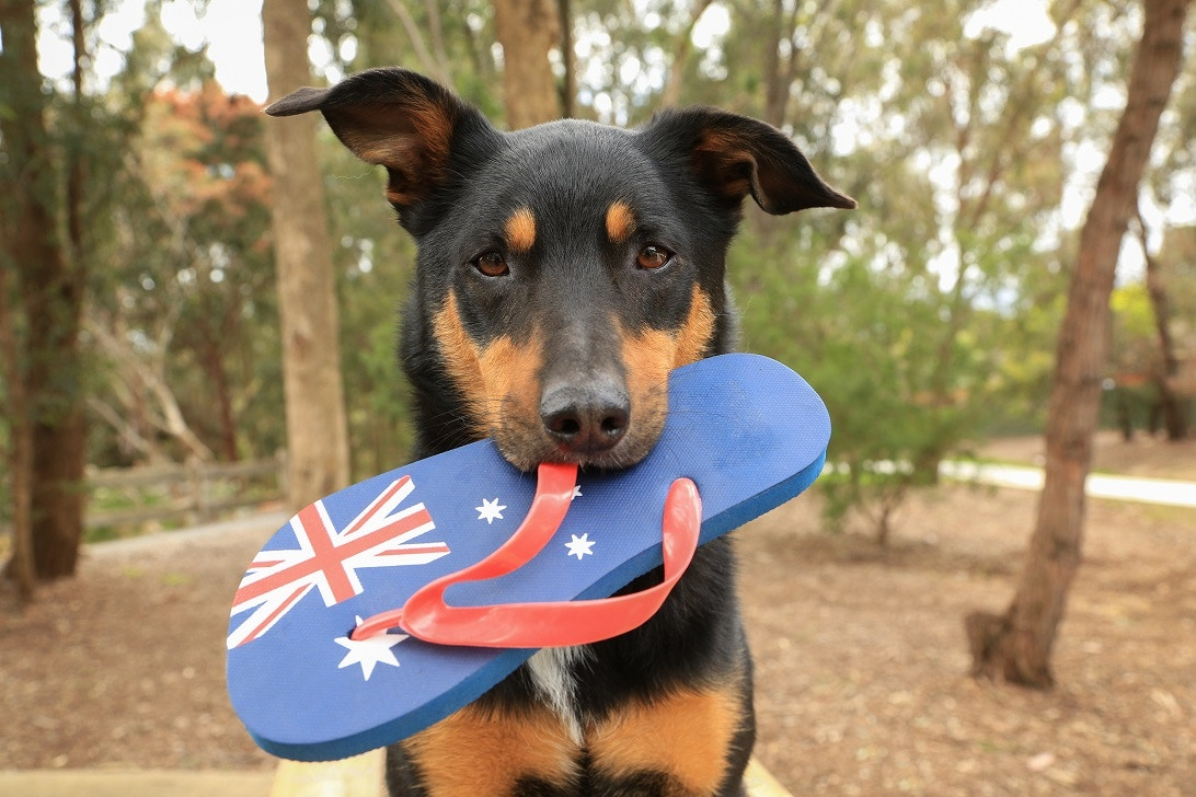 What are the Most Popular Dog Breeds in Australia?
