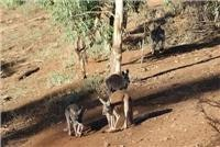 Kangaroos in the Gahn Railway Dam