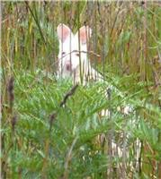 The rare Bennetts White Wallaby Bruny Is.