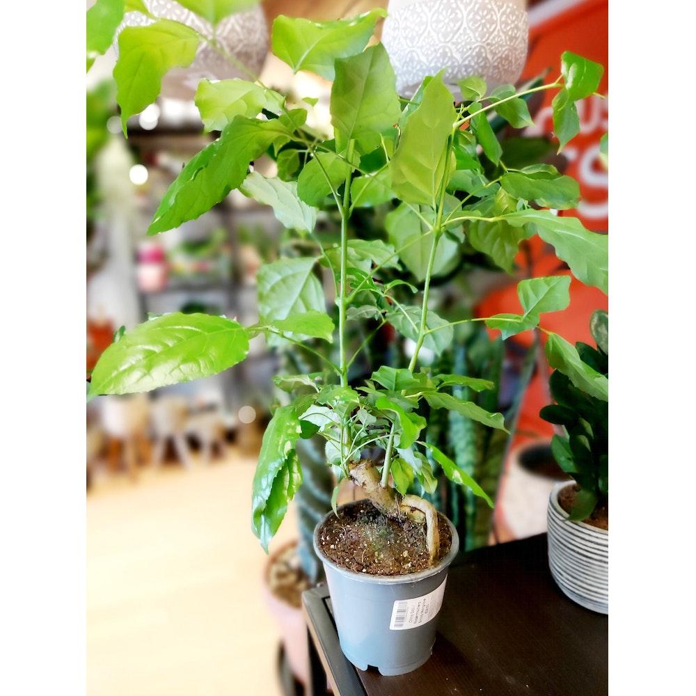 Pretty Cactus Plants  China Doll / Radermachera Sinica Mangrove - In 12cm Pot. Pet Safe.