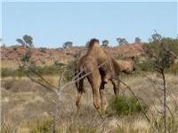 Wild camel Canning Stock Route