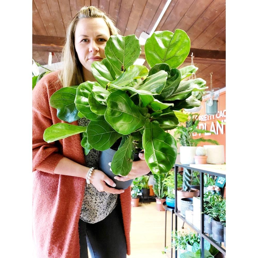 Pretty Cactus Plants  Fiddle Leaf Fig Bush / Ficus Lyrata - Houseplant In 21cm Pot.