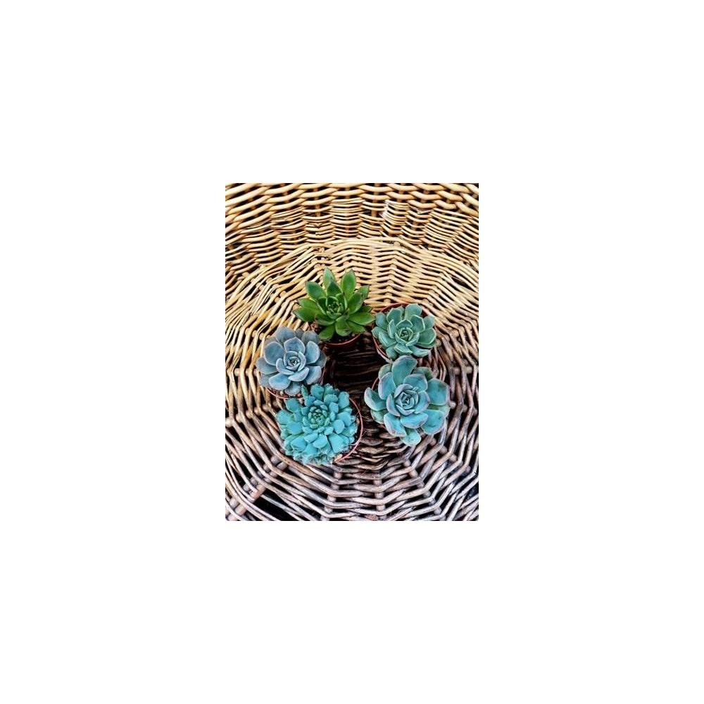 Pretty Cactus Plants  Echeveria Mix - Small Succulent Houseplants. Receive One Plant At Random. In 5.5cm Pot. Pet Safe.
