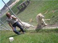 An interesting word about white lions at Mogo Zoo