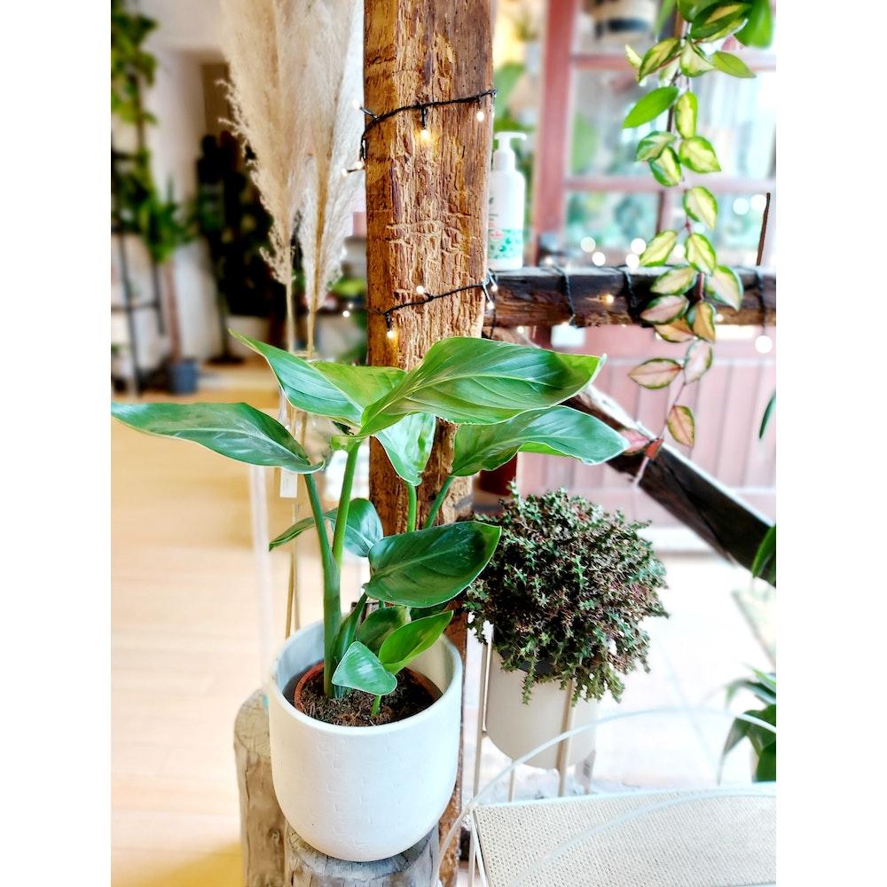 Pretty Cactus Plants  Bird Of Paradise / Strelitzia Nicolai - Easy Care, Air Purifying Houseplant In 17cm Pot.