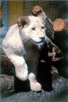 Meet a white lion cub at Mogo Zoo