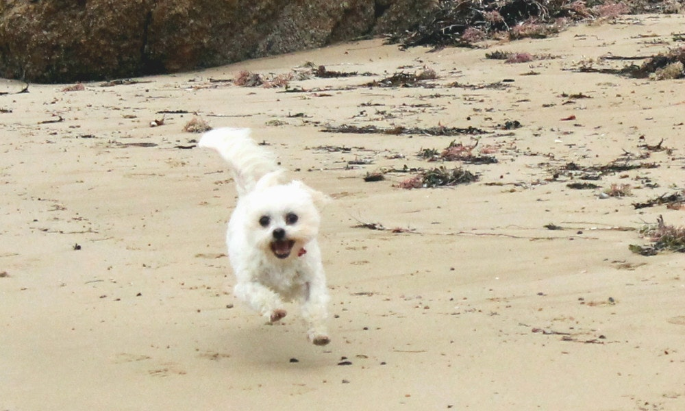 chloe running across the beach   full time traveller s pets struggle change