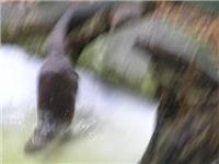 Fast Eddie the  otter moves in a  blurr