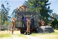 Lions on top Orana Wildlife Park Lion Encounter