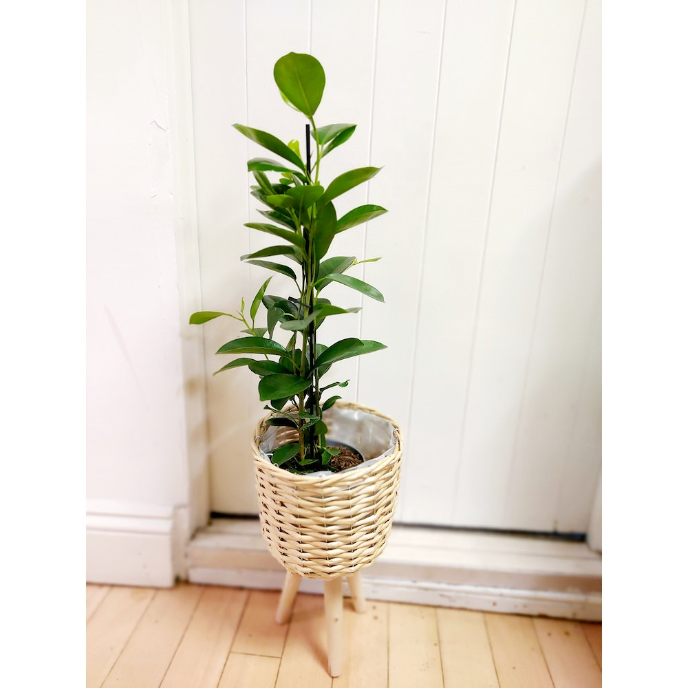 Pretty Cactus Plants  Indian Laurel Tree / Ficus Microcarpa Moclame - In 14cm Pot. Approx 70cm Tall.